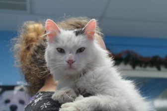 Domestic Longhair/Domestic Shorthair Mix Cat for adoption in Robinson, Illinois - Frost