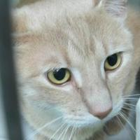 Domestic Mediumhair/Domestic Shorthair Mix Cat for adoption in Robinson, Illinois - leo