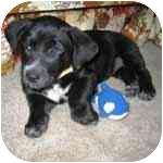 "Corgi/Dachshund Mix Puppy for adoption in Pittsboro/Durham, North Carolina - Matilda ""Mattie"""