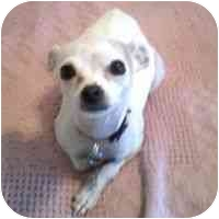 Chihuahua Dog for adoption in Denver, Colorado - Crumbs