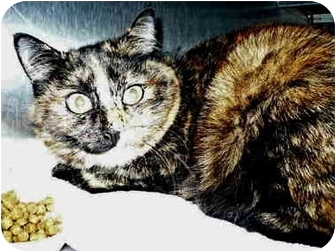 Domestic Shorthair Cat for adoption in San Clemente, California - ROXY