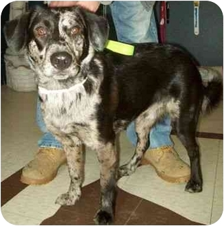 Australian Shepherd/Husky Mix Puppy for adoption in North Judson, Indiana - Dough Boy