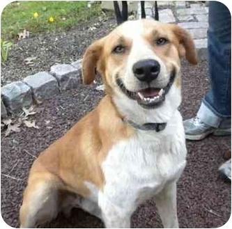 Australian Shepherd Mix Puppy for adoption in Millstone, New Jersey - Butler