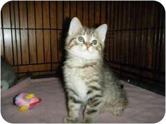Domestic Shorthair Kitten for adoption in Byron Center, Michigan - Marcel