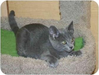 Domestic Shorthair Kitten for adoption in Irvine, California - Dusty