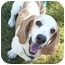Photo 2 - Basset Hound Dog for adoption in Phoenix, Arizona - Kohl