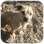 Photo 1 - Terrier (Unknown Type, Small) Mix Puppy for adoption in Lonedell, Missouri - Bentley-B