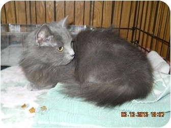 Domestic Longhair Kitten for adoption in Arlington, Virginia - Vega