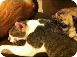 Domestic Shorthair Cat for adoption in McDonough, Georgia - Oak