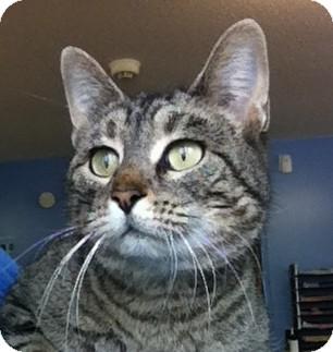 Domestic Shorthair Cat for adoption in Murphysboro, Illinois - Kalola