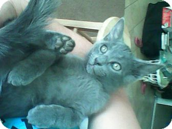 Russian Blue Kitten for adoption in Scottsdale, Arizona - Gizzy (courtesy post)