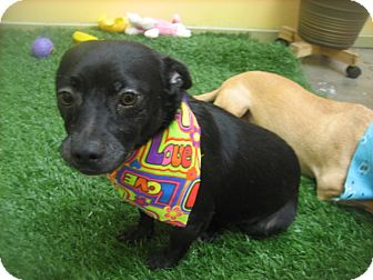 Chihuahua/Terrier (Unknown Type, Small) Mix Dog for adoption in Los Angeles, California - BENI