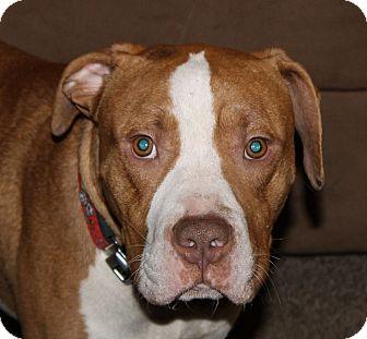 Pit Bull Terrier Mix Dog for adoption in Dayton, Ohio - Gatsby