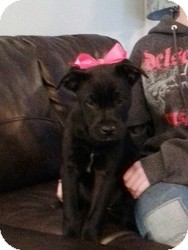 Labrador Retriever Mix Puppy for adoption in Marlton, New Jersey - Sasha