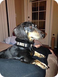 Dachshund Dog for adoption in Goodyear, Arizona - Ozzy