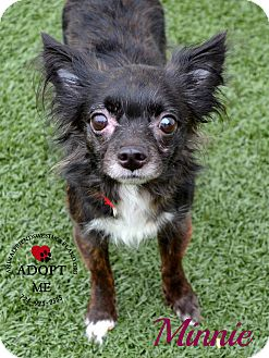 Chihuahua Mix Dog for adoption in Youngwood, Pennsylvania - Minnie