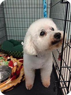 Bichon Frise Mix Dog for adoption in Columbus, Georgia - Murray 3907