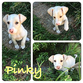 Cavalier King Charles Spaniel/Terrier (Unknown Type, Small) Mix Puppy for adoption in Fishkill, New York - PINKY