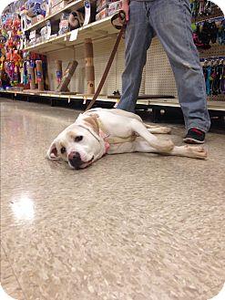 Labrador Retriever Mix Dog for adoption in Delaware, Ohio - Snowflake