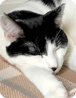 Domestic Shorthair Cat for adoption in Montclair, New Jersey - North Star