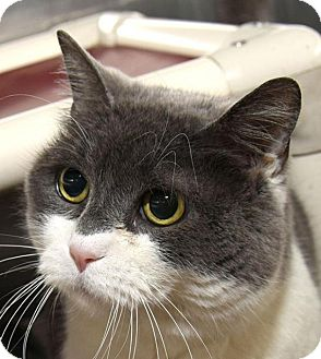 American Shorthair Cat for adoption in New Haven, Connecticut - BELLE