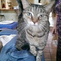 Domestic Shorthair Cat for adoption in Naples, Florida - Peanut