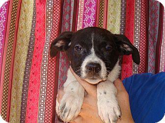 Border Collie/Labrador Retriever Mix Puppy for adoption in Oviedo, Florida - Millie