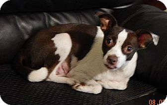 Rat Terrier/Pug Mix Dog for adoption in Niagara Falls, New York - Coco(12 lb) New Pics & Video!