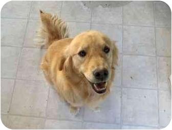 Golden Retriever Dog for adoption in Long Beach, New York - Amy