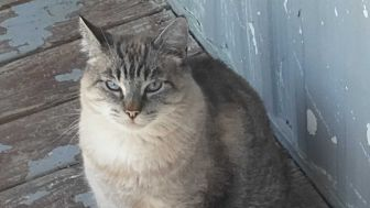 Siamese Cat for adoption in El Cajon, California - Mr. Peabody