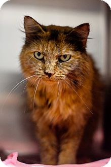 Maine Coon Cat for adoption in Franklin, Tennessee - Ashanti