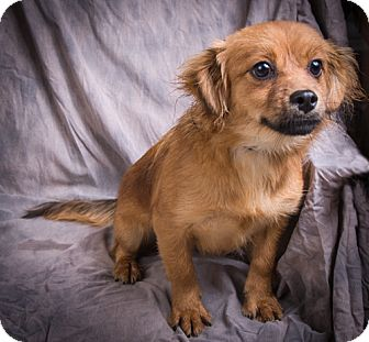 Pomeranian Mix Dog for adoption in Anna, Illinois - TRUDY