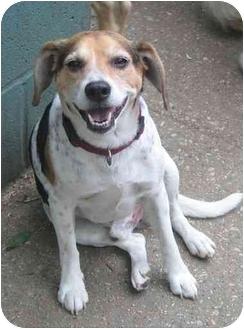 Beagle Mix Dog for adoption in Chicago, Illinois - Herman