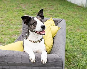 Australian Shepherd/Australian Cattle Dog Mix Dog for adoption in Charlotte, North Carolina - Birdie
