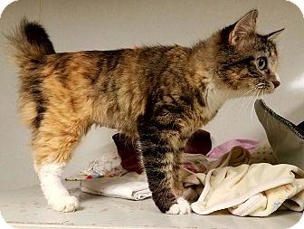 Calico Cat for adoption in Indianola, Iowa - C-5
