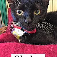 Adopt A Pet :: Skylar - Lakewood, CO