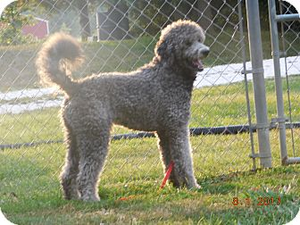 Poodle (Standard) Dog for adoption in moscow mills, Missouri - Toby ADOPTED!!