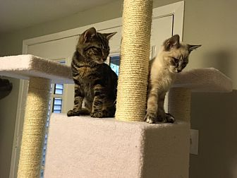 Siamese Kitten for adoption in Arlington, Virginia - Brantley and Todd