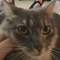 Adopt A Pet :: Amelia - Issaquah, WA