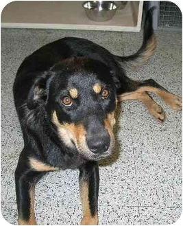 Retriever (Unknown Type)/Rottweiler Mix Dog for adoption in BC Wide, British Columbia - Tory