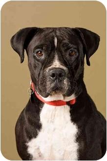 Boxer Mix Dog for adoption in Portland, Oregon - Molly
