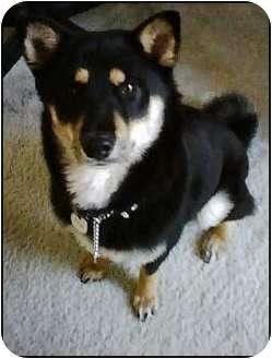Shiba Inu Dog for adoption in Encino, California - Momo