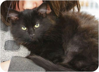 Domestic Longhair Cat for adoption in Tillamook, Oregon - Fuzzy