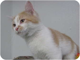 Domestic Mediumhair Kitten for adoption in Grinnell, Iowa - Sissy
