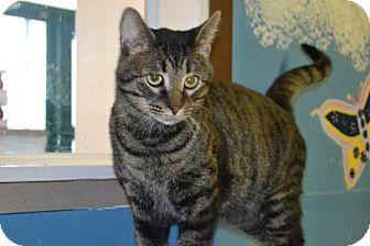 Domestic Shorthair Cat for adoption in Elyria, Ohio - Roc