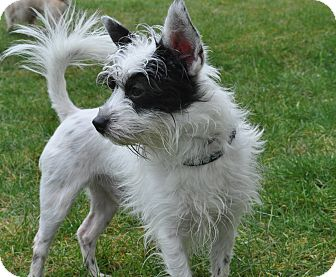 Terrier (Unknown Type, Small) Mix Puppy for adoption in Tumwater, Washington - Oreo