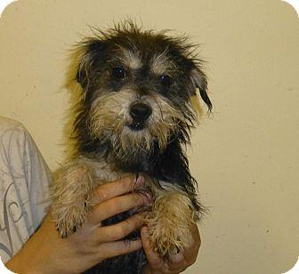 Yorkie, Yorkshire Terrier/Schnauzer (Miniature) Mix Dog for adoption in Oviedo, Florida - Mandy