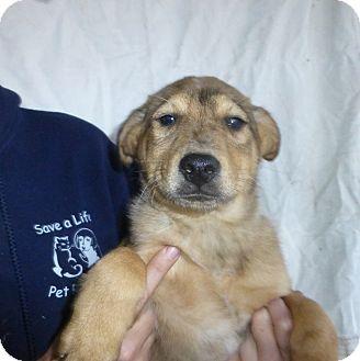 Australian Shepherd Mix Puppy for adoption in Oviedo, Florida - Abe