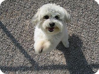 Maltese/Poodle (Miniature) Mix Dog for adoption in Port Clinton, Ohio - Obie