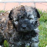 Adopt A Pet :: Jon Snow - La Habra Heights, CA